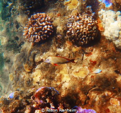 Maui, cute brown fish and pretty coral... by Alison Ranheim